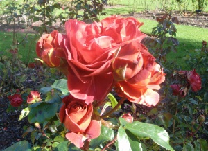 Colourbreak floribunda