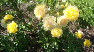 Cheerful Days hybrid tea/floribunda